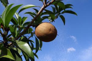 Sapodilla that is high in fiber