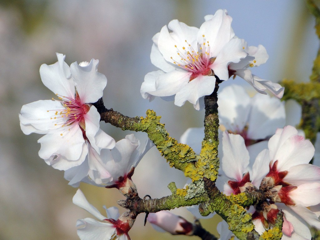 where do almonds come from? An almond tree of course!